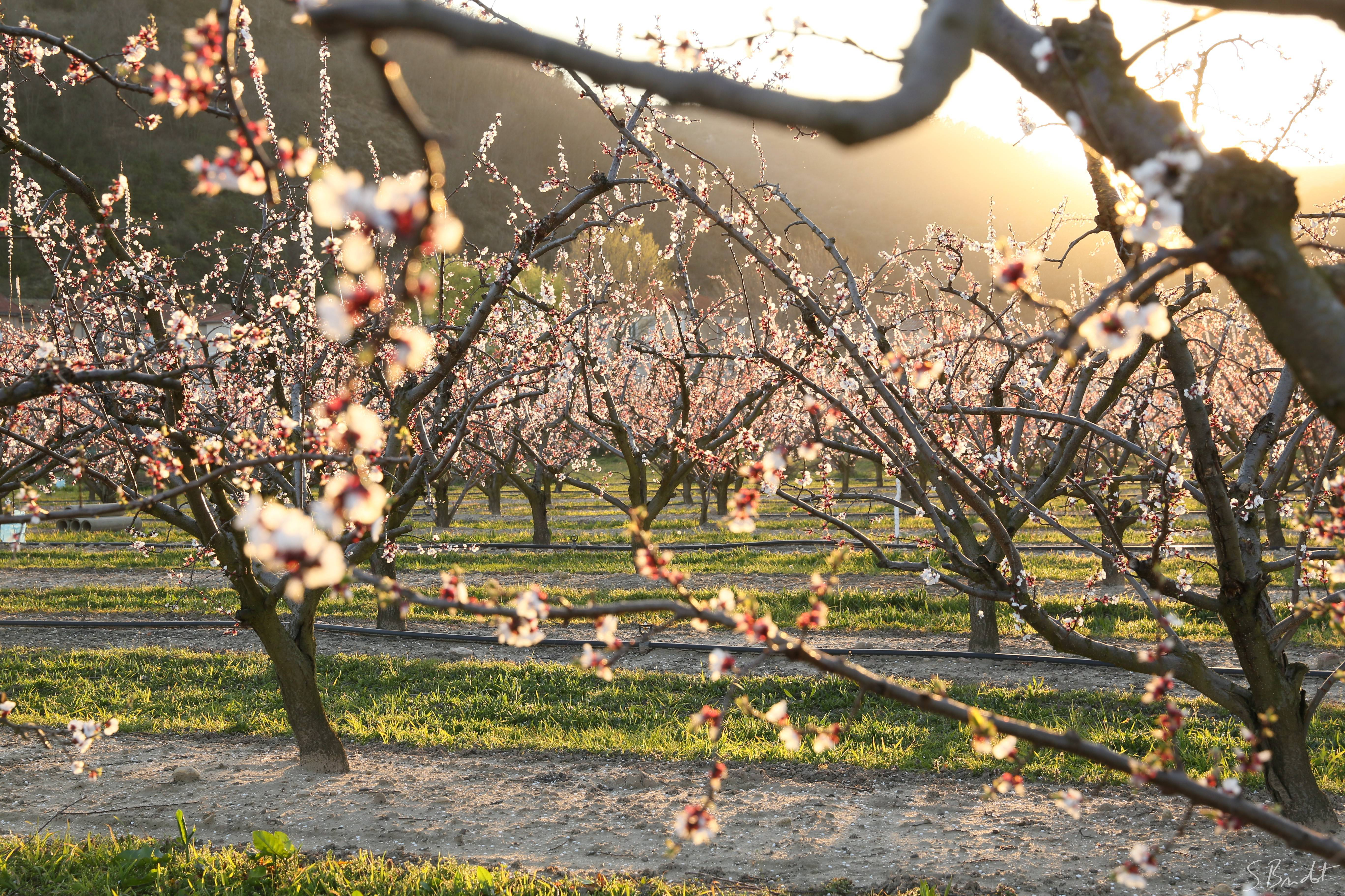 Rhone valley orchards blooming