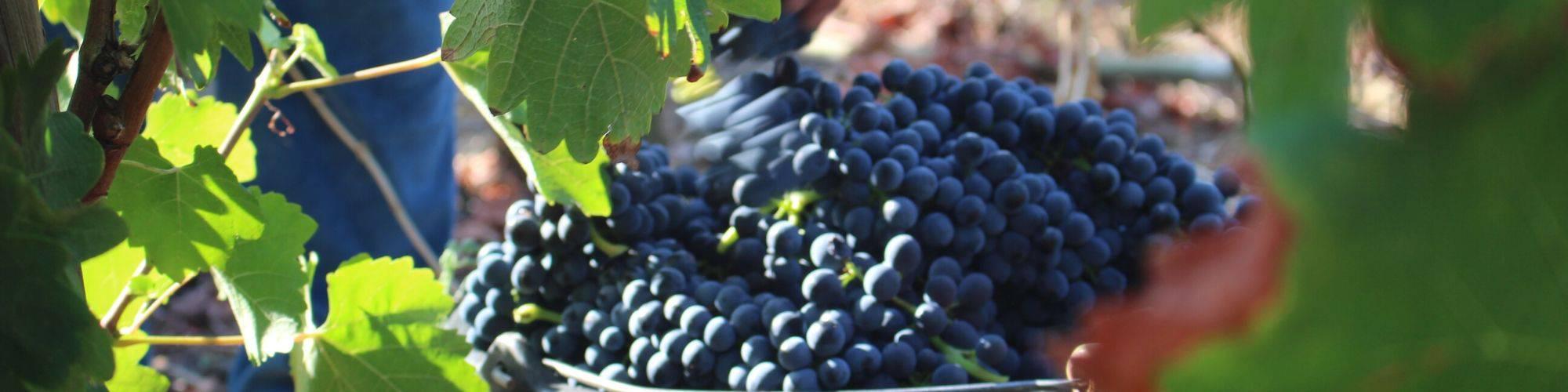 Les vignes en vendanges