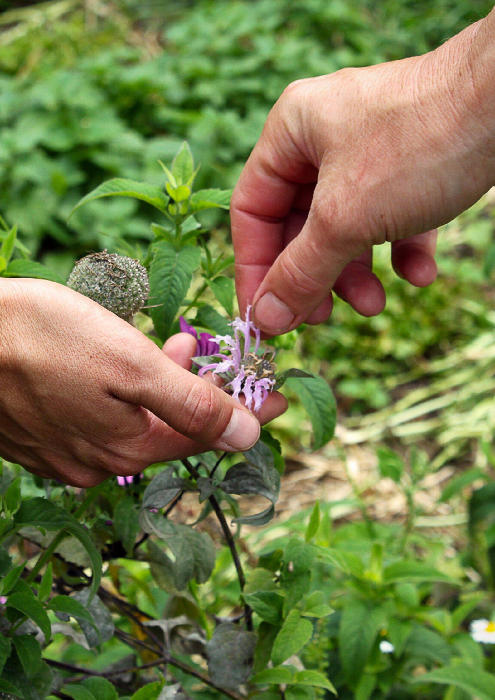 balade plantes sauvages avec la Bardane