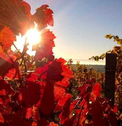 The vineyards of the Rhône Valley in autumn