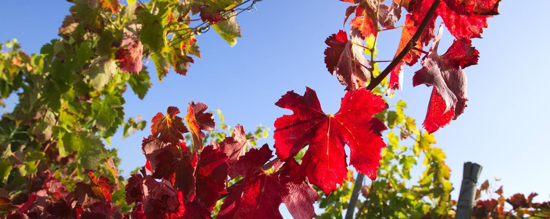 Vignobles de Saint Jospeh en Automne