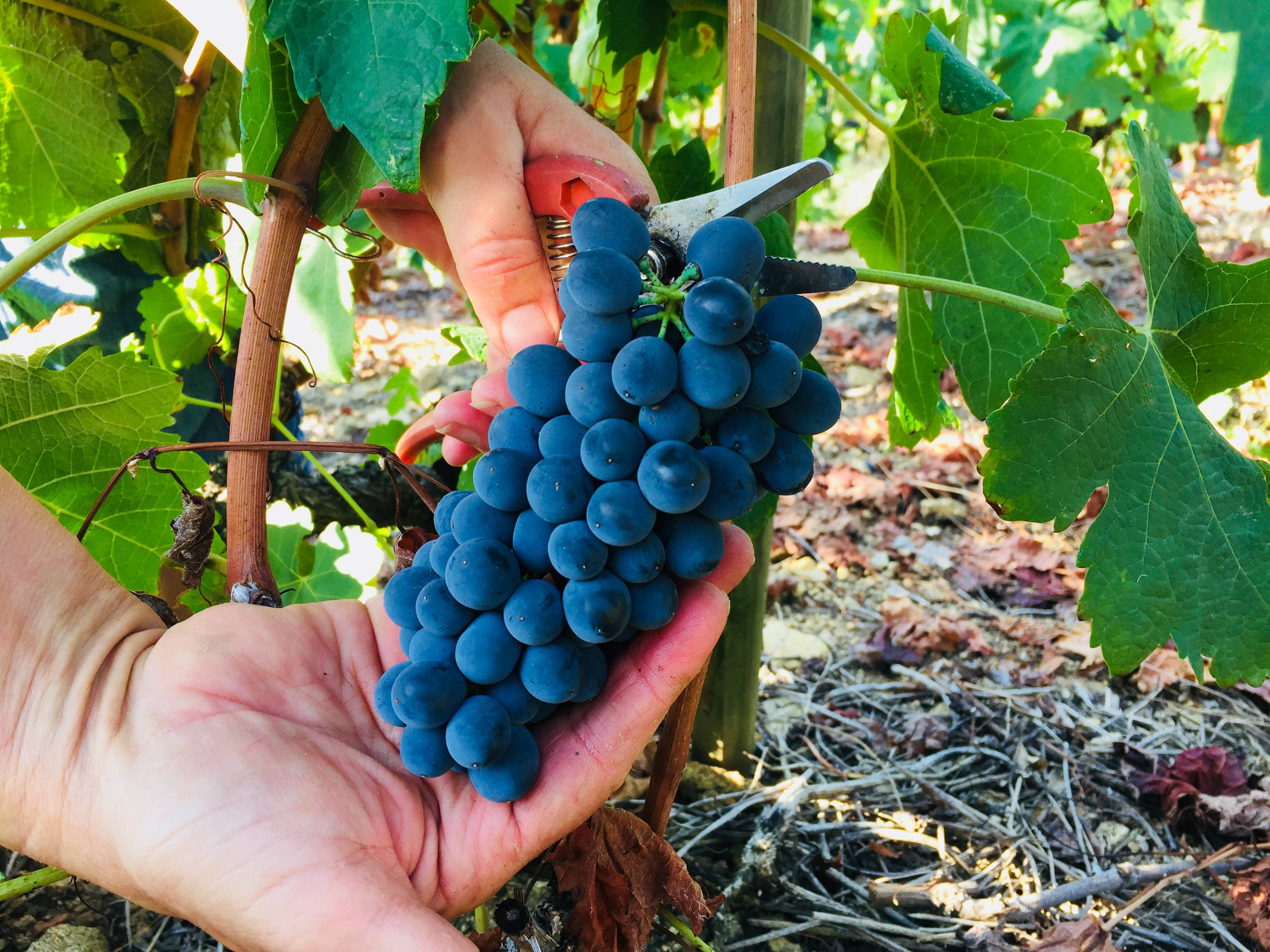 Vendanges de la syrah