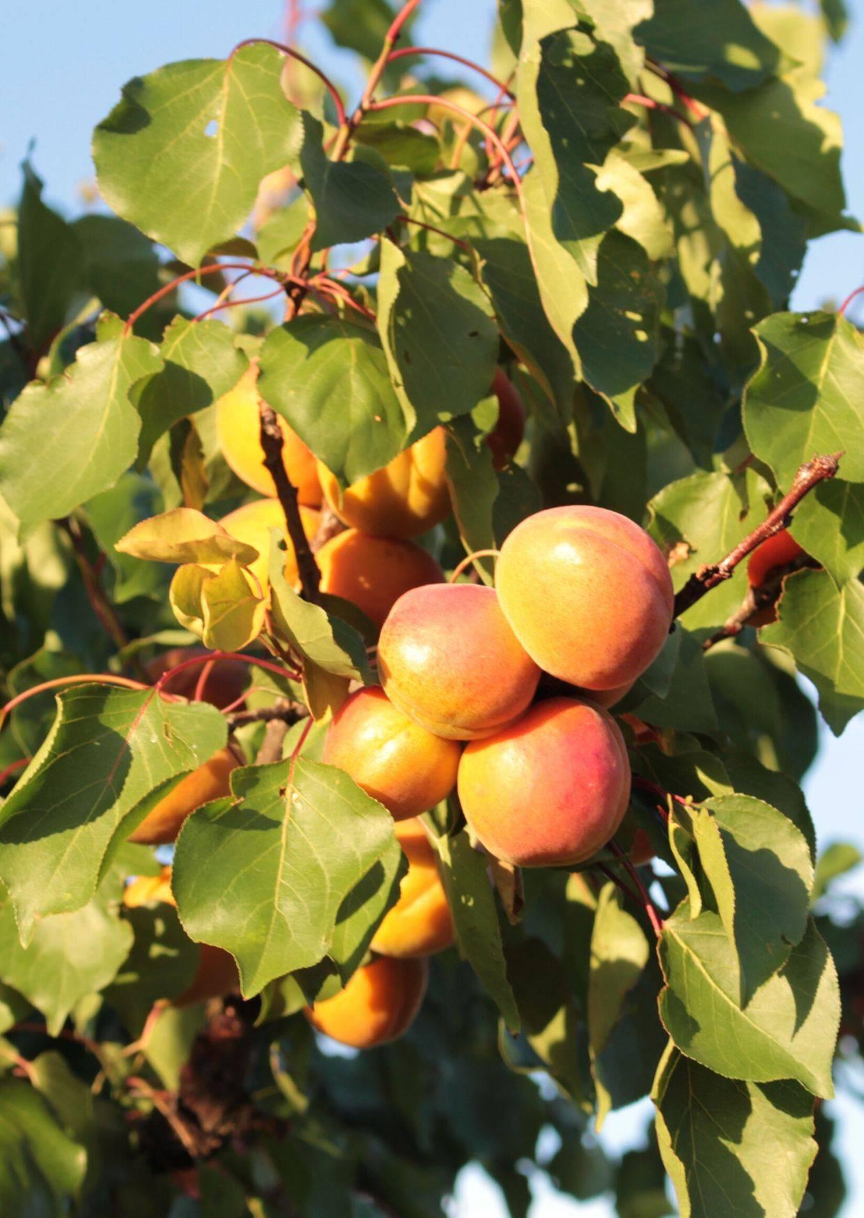Abricot de la Vallée du Rhône