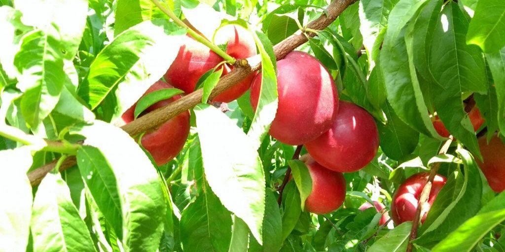 Nectarine de la Drôme