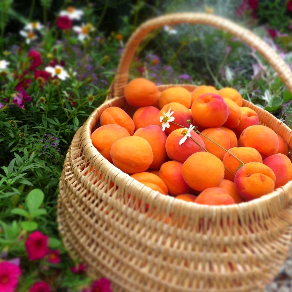 Produit local, abricot bergeron