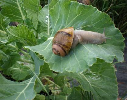 Escargots Saint-Félicien Ardèche